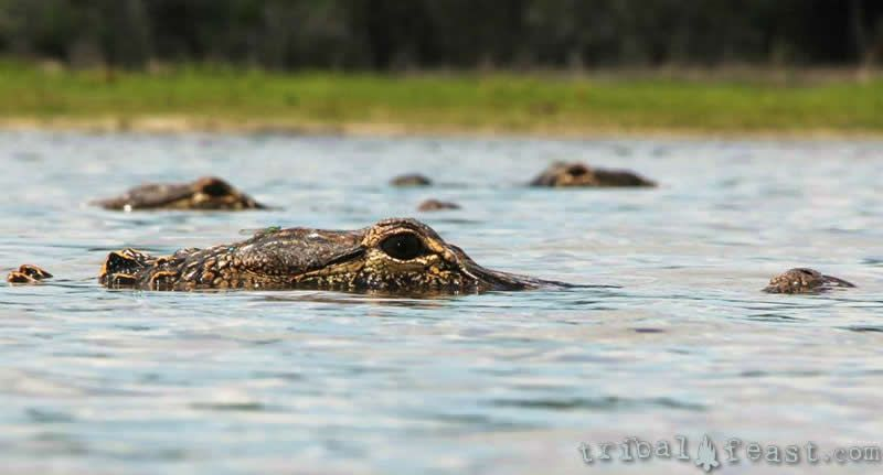 Alligators crowd the surface at Deep Hole on the Myakka River.