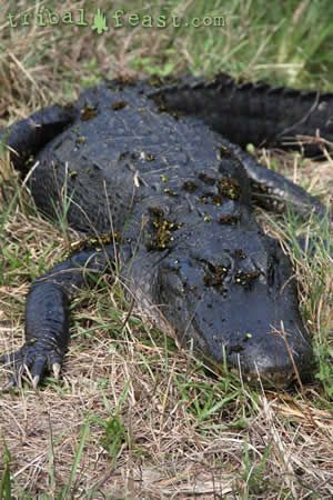 A large American alligator in Myakka River State Park.