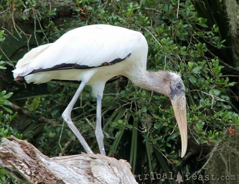 A birder's favorite, the wood stork is a common sight in Myakka River State Park