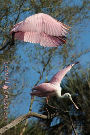 Roseate Spoonbills are a common sight at Myakka River State Park.